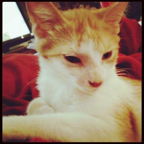 My Kitty Baby(: Sleepyhead Sleepy Kitty Luna my baby kitty luna(: