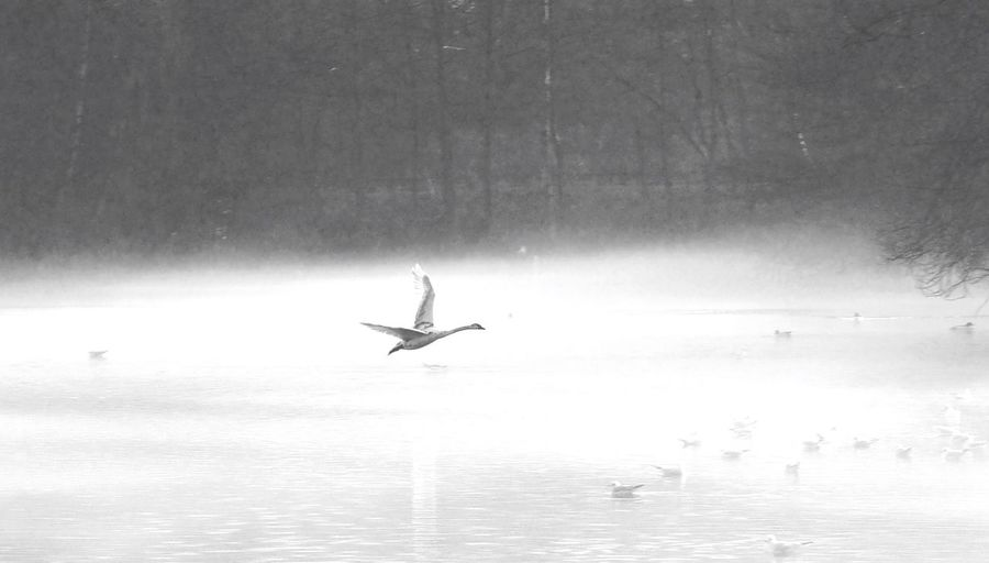 Black And White Mid-air Flying Swan Rufford Abbey Nottinghamshire