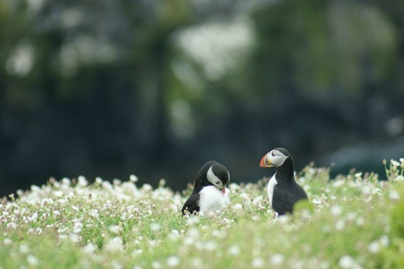 Puffins In Flowers