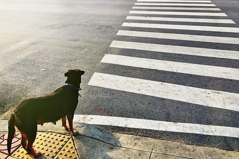 View of a dog crossing road
