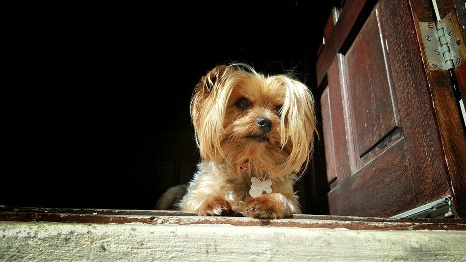 Sookie on guard Sun Summer Dog Vintage Door Animal Pets Pet Pet Photography  Yorkie Yorkie ♥ Yorkshire Terrier YorkieBestShots Yorkiesofinstagram My Dogs Are Cooler Than Your Kids Yorkshire Terrier♡
