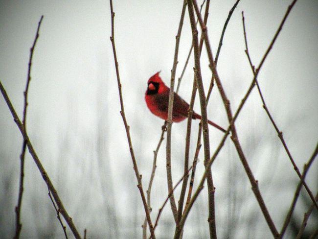 Alone Bird Petit Little Hiver Seul Oiseau Tree Arbre Cardinal Red Rouge Quebec Buitifull Magnifique