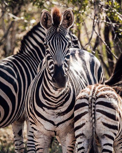 Close-up portrait of zebra