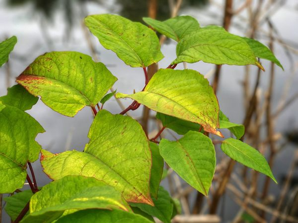 Fallopia Japonica Leaf Growth Green Color Nature Close-up Plant Day Outdoors No People Focus On Foreground Beauty In Nature Freshness Fragility Invasive Species Invasive Plant Donkey Rhubarb