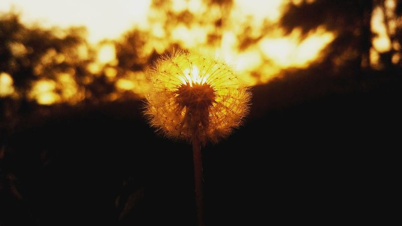 A golden dandelion..!! Flower Nature Sunset No People Close-up Beauty In Nature Outdoors Sky Fragility Dandelion Magic Makeawish Trail Evening Sky BelieveInMagic Macro Photography Plant Flower Head