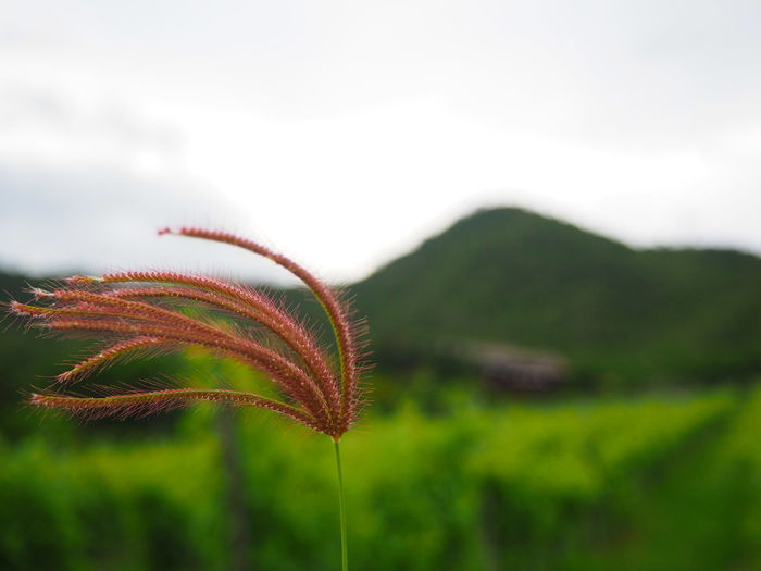 Drifting with the wind. Thailandtravel Thailand Travel Huahin Greenery EyeEm Nature Lover Green Vineyard Hua Hin Hills EyeEm Best Shots - Nature Check This Out Wind EyeEm Flower Eyeem Closeup Showcase July Colour Of Life Focus Objects