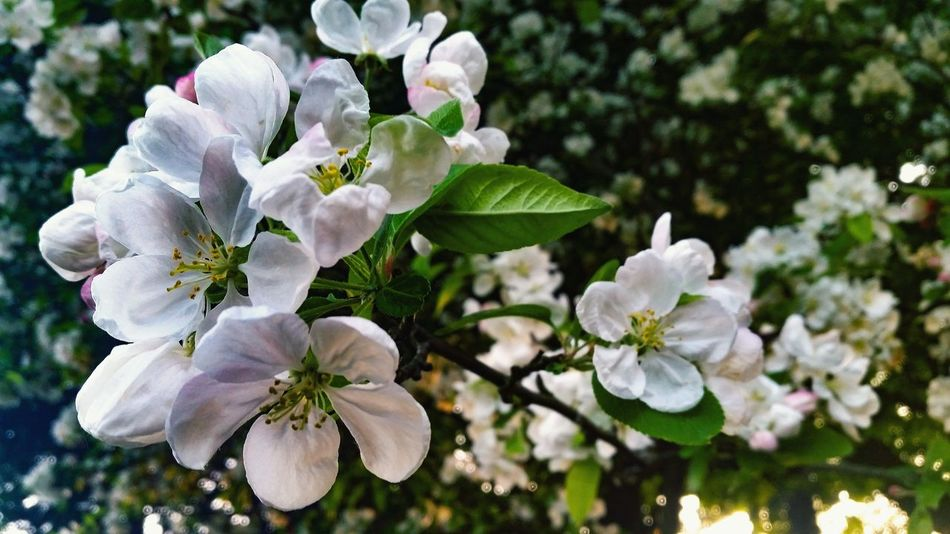 Romantic Tree Blossom Blossoming  Blooming Blossoming Tree Blossoming Fresh & Bright Blossoms Blooming Flower Head Flower Tree White Color Close-up Plant Apple Blossom In Bloom Cherry Blossom Blossom Plant Life