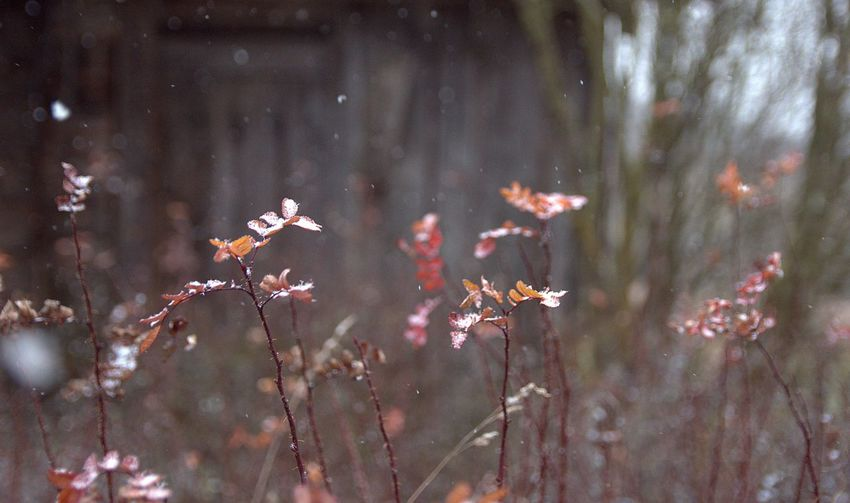 Nature Photography Calmness Frost Snowing Wintertime Plant Life Red Plant Flower Branch Close-up Snowflake Weather Condition