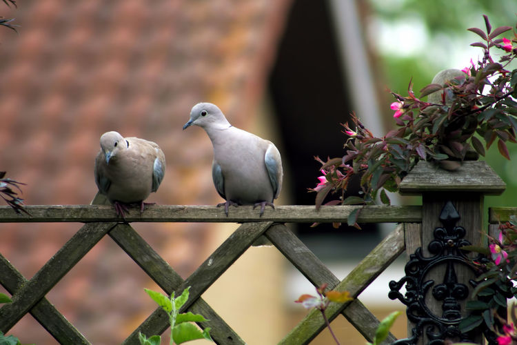 Mourning doves perching on wooden railing