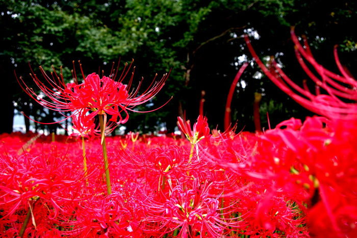 Autumn Cluster Amaryllis Beautiful Japan Saitama , Japan Beauty In Nature Close-up Flower Flower Head Freshness Growth Nature No People Outdoors Plant Red Tree EyeEmNewHere
