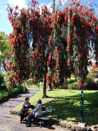 Two ladies meeting under a splendid tulip tree. Madeira Portugal Meeting Friends Tranquil Scene Two Ladies Bottlebrush Tree Callistemon Citrinus Park Madeira Island Funchal City Funchal Madeira Funchal Plant Sunlight Nature Park Day No People Park - Man Made Space Tranquility Red Outdoors This Is Aging