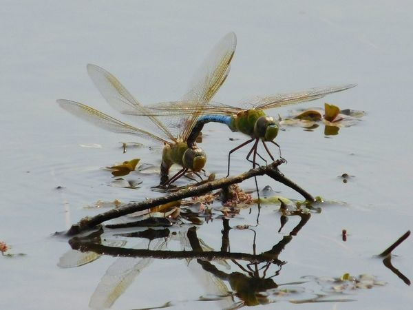 Dragonfly pair Dragonfly Nature Insects Mating Pair Of Insects