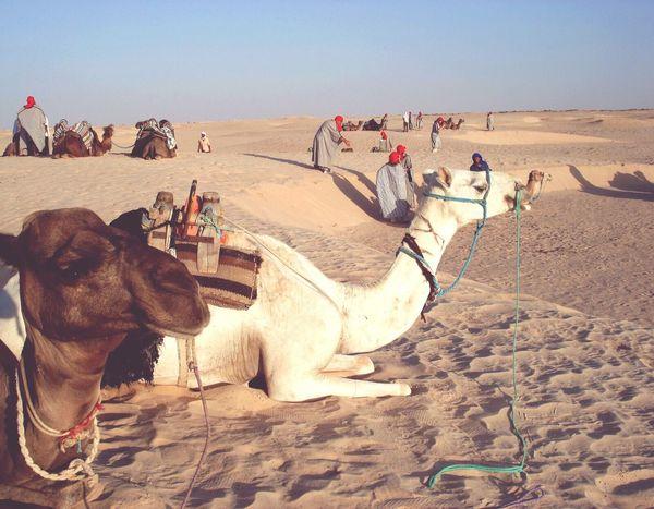 Tunisia Desert Camel Sand Sky Outdoors Landscape Nature