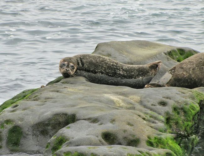 La Jolla Cove Sealife Seal Nature Photography Nature_collection