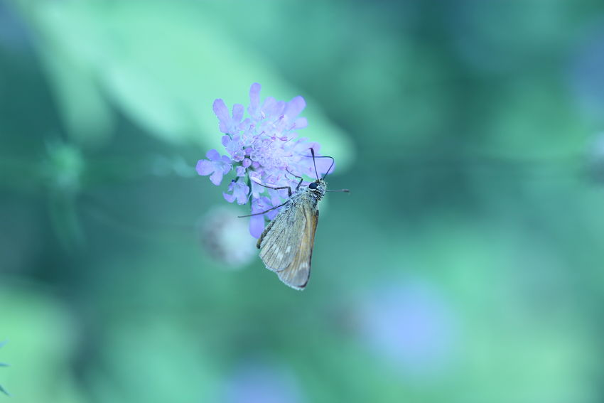 Ochlodes Ochlodes Sylvanus Animal Animal Themes Animal Wildlife Animal Wing Animals In The Wild Beauty In Nature Close-up Day Flower Flower Head Freshness Insect Invertebrate Nature No People One Animal Outdoors Petal Plant Pollination Purple Scabiosa Vulnerability