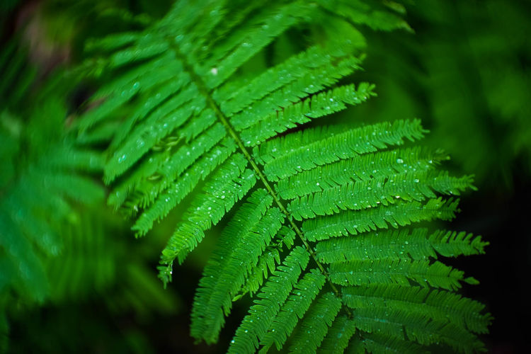 Close-up Growth Drop Plant Outdoors Leaves Water Beauty In Nature Day Wet Selective Focus Nature No People Green Color Leaf Focus On Foreground Plant Part Freshness Fern Rainy Season RainDrop Dew EyeEmNewHere EyeEm Nature Lover EyeEm Best Shots