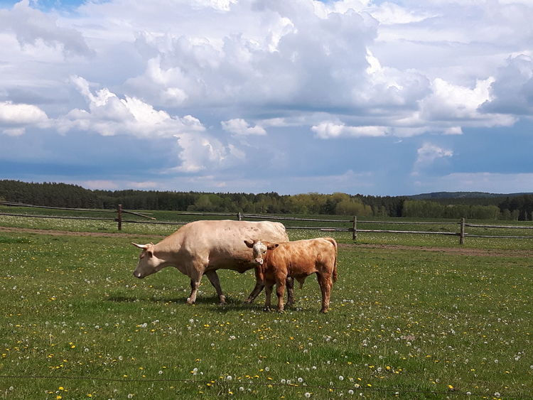 Cows Livestock Domestic Animals Agriculture Grazing Cloud - Sky Rural Scene Field No People Outdoors Day Grass Animal Themes Full Length Mammal Nature Sky Nature Landscape Animal Animals Cow Cows Cows Grazing Cows In A Field Mammals