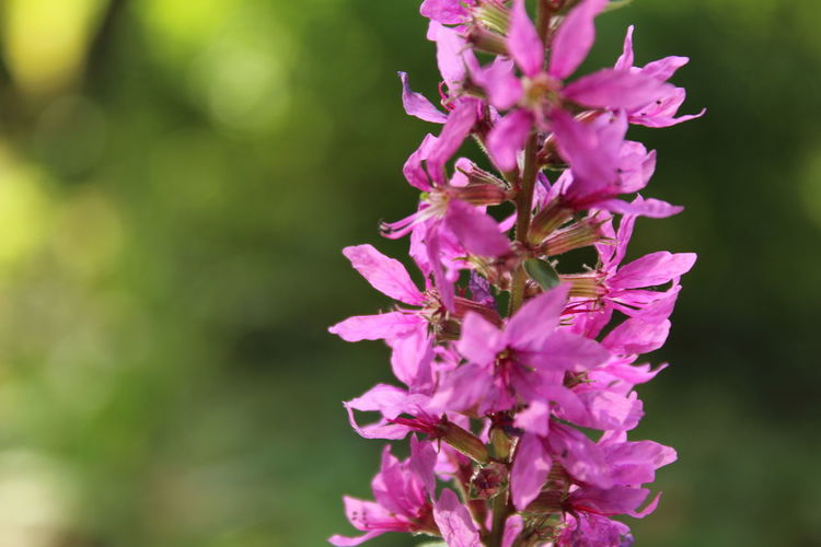 Blutweiderich Langgöns, Near Gießen, Hessen, Germany Lythraceae Beauty In Nature Close-up Flower Flower Head Flowering Plant Focus On Foreground Fragility Freshness Loosestrife Pink Color Purple Selective Focus