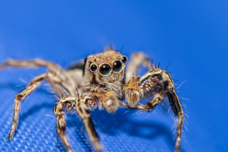 Jumping spider on blue table