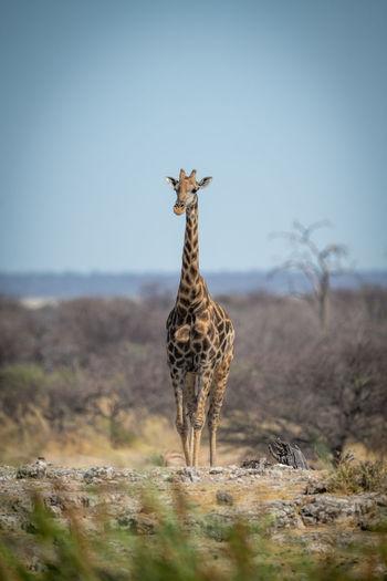 Southern giraffe crosses rocky ridge towards camera