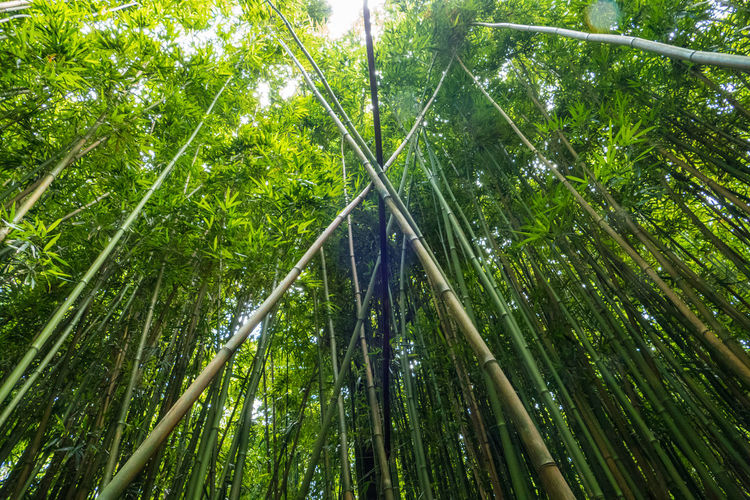 Low angle view of bamboos