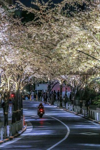 Sakura tunne