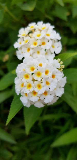 Flower Head Flower Petal Springtime White Color Close-up Plant Blooming