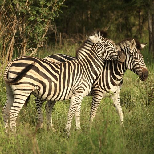 Animal Themes Animals In The Wild Krugerpark No People Sabi Sands Safari Safari Animals South Africa Striped Traveling Two Animals Wildlife Zebra