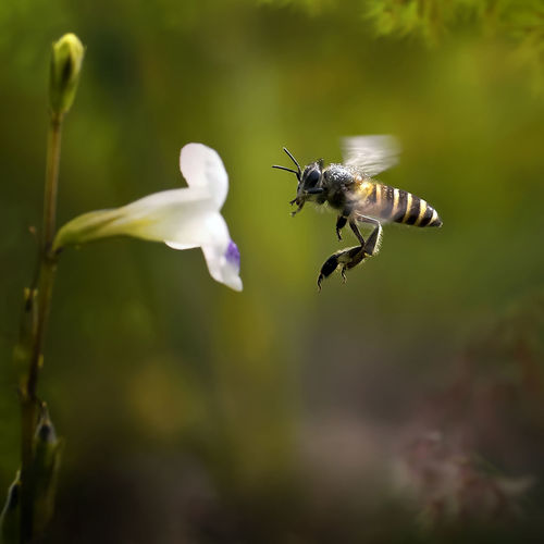Close-up of bee hovering by flower
