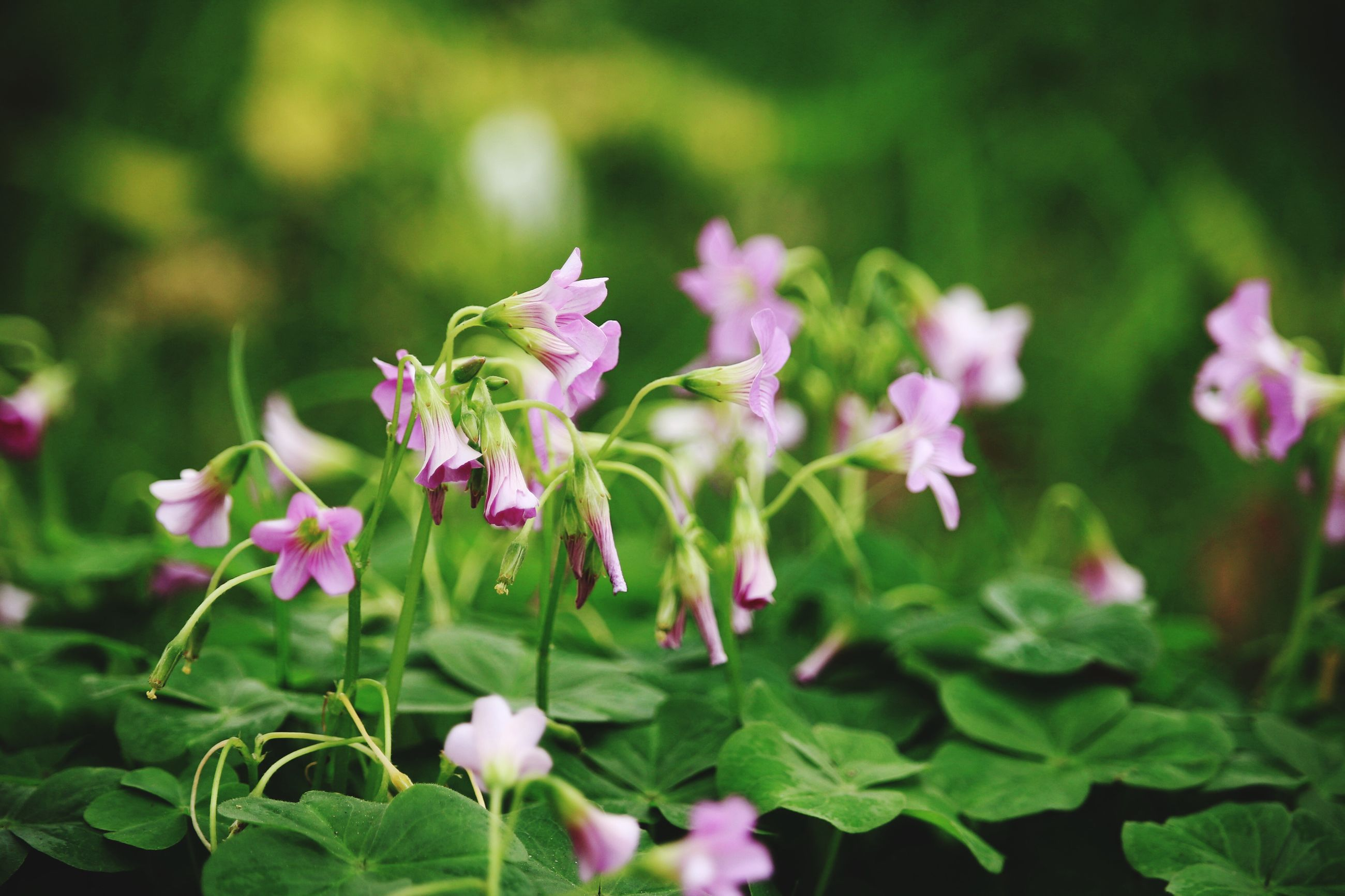 flower, freshness, growth, fragility, petal, beauty in nature, plant, focus on foreground, blooming, nature, flower head, close-up, pink color, leaf, purple, green color, in bloom, selective focus, stem, park - man made space