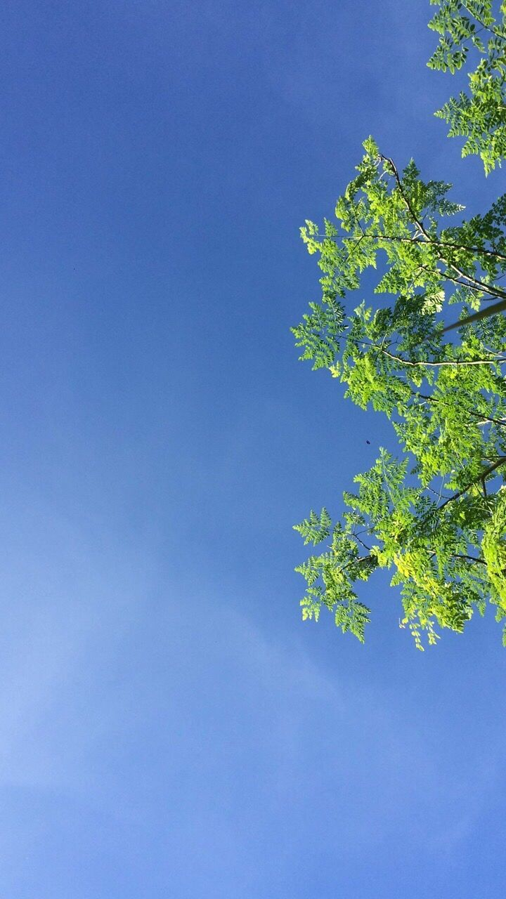 growth, blue, nature, leaf, tree, beauty in nature, low angle view, clear sky, no people, plant, day, tranquility, outdoors, blue sky, sky, freshness, branch, close-up