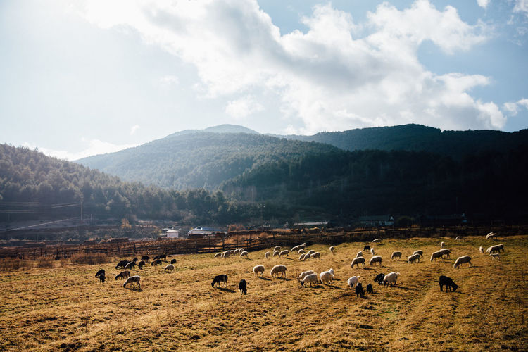 Flock of sheep on land by mountains against sky