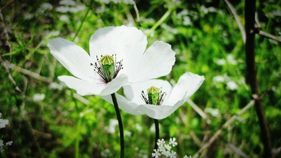 Nature Flowers Poppy Summer Colors White