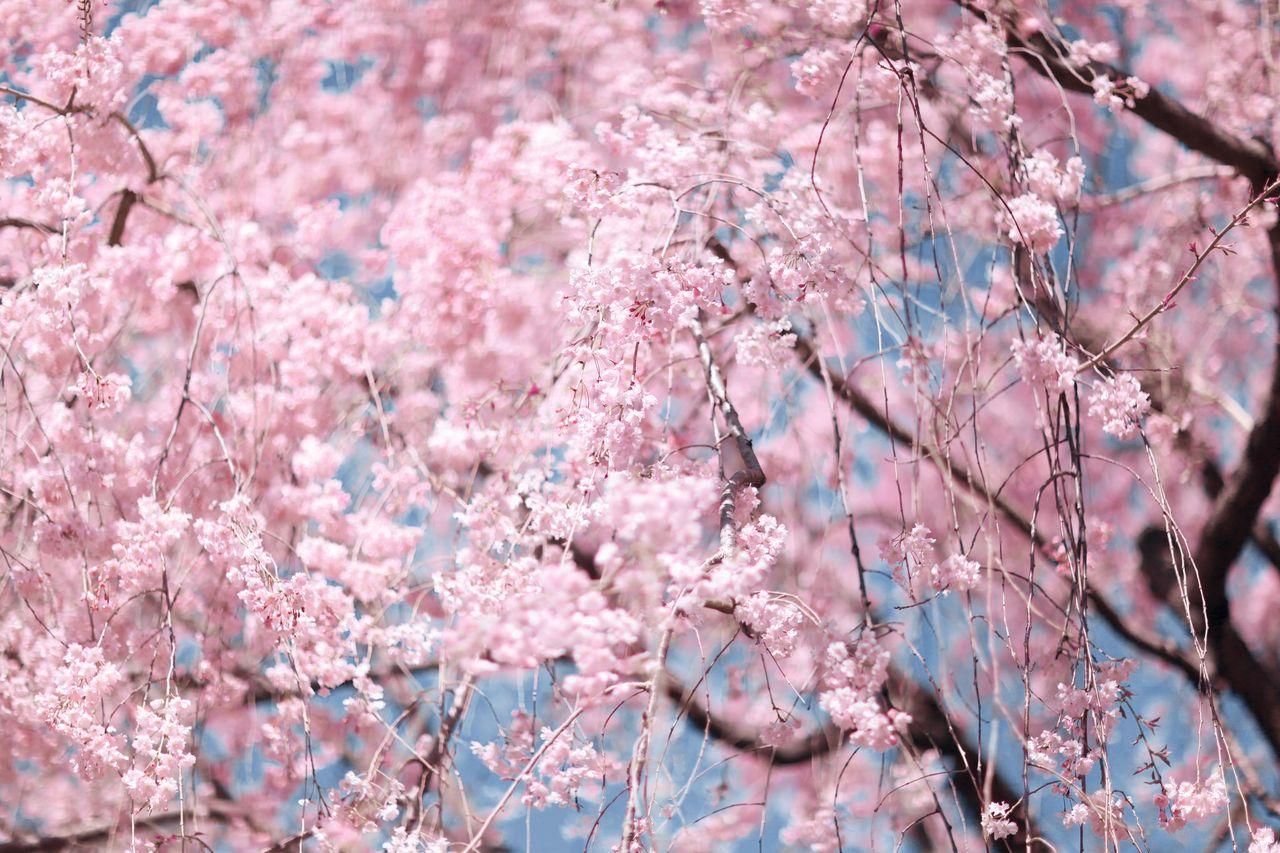 Pink flowers on cherry tree