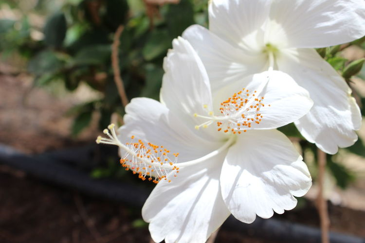 Close-up of white hibiscus flowers blooming outdoors
