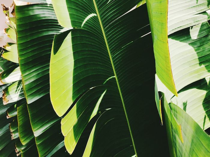 Backgrounds Banana Banana Leaf Banana Tree Beauty In Nature Close-up Day Full Frame Green Color Growth Leaf Leaves Natural Pattern Nature No People Outdoors Palm Leaf Pattern Plant Plant Part Sunlight