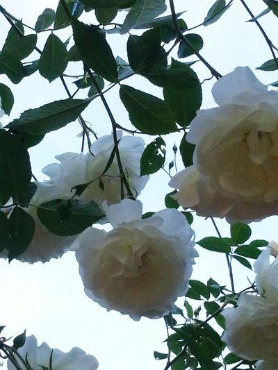 White rose overhang... Avery Park Corvallis Oregon My Scenery My Photo Album ♡ Galaxy S3 & EYEem Editing.