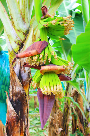 Plant Banana