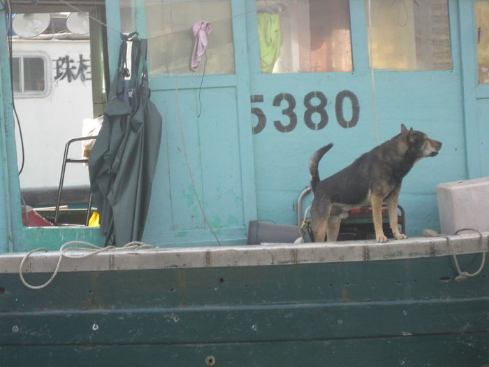 Boat Dog Dog Domestic Animals Guard Guard Dog Hong Kong Hong Kong Harbour Standing