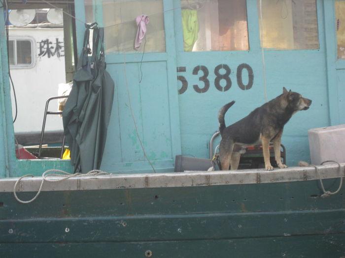 Boat Dog Dog Domestic Animals Guard Guard Dog Hong Kong Hong Kong Harbour Standing