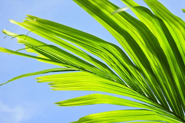 Betel palm leaf