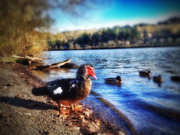 Wildlife Goose