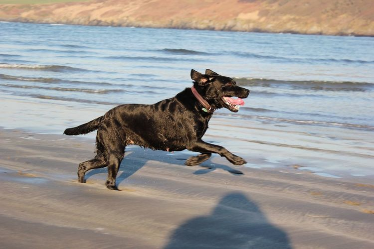 Dog Beach Sea Pets Domestic Animals Animal Themes One Animal Nature Mammal Water Outdoors Wet Sand No People Day Sky Black Labrador Dogs Of EyeEm Dog Running