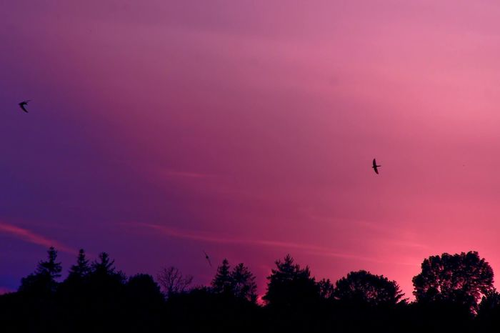 beautiful sunset Animal Themes Animal Wildlife Animals In The Wild Beauty In Nature Bird Day Flying Low Angle View Mid-air Nature No People One Animal Outdoors Scenics Silhouette Sky Spread Wings Sunset Tree