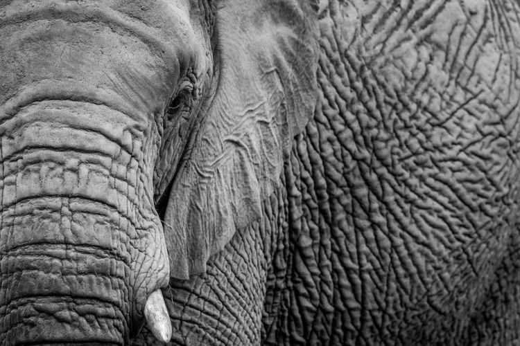 Close up of an African elephant in black and white in the Welgevonden game reserve, South Africa. Animal Themes Animals In The Wild Animal Wildlife Animal Safari Animals Safari Travel Travel Destinations Nature Nature Photography Beauty In Nature Kruger Park Wildlife Wildlife & Nature Wildlife Photography Africa African Animals African Safari Elephant Mammal African Elephant Herbivorous Big Five Loxodonta Africana Black And White