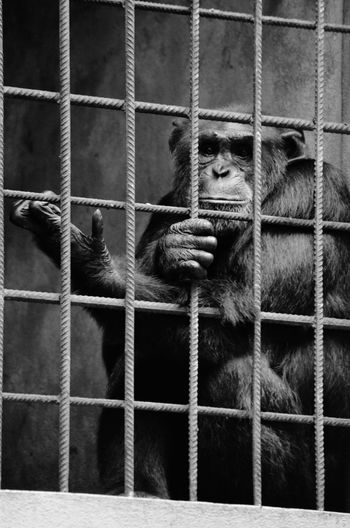Chimpanzee Sitting In Cage At Sanctuary