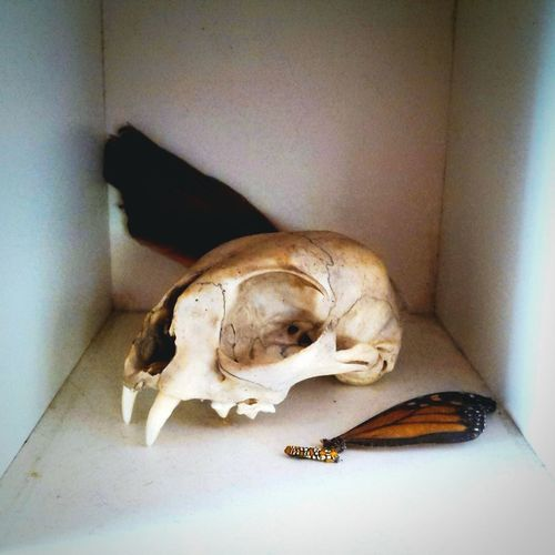 Natural History Cabinet Of Wonders Skull Butterfly Wing