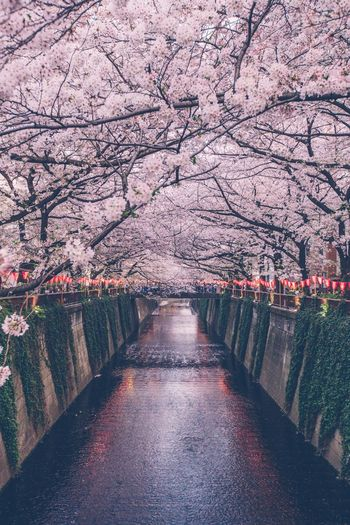 Japan Sakura Sakura Blossom Night Plant Tree The Way Forward Nature Diminishing Perspective Direction No People Beauty In Nature Flower Blossom