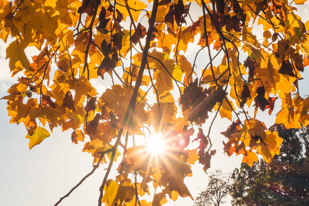 leaf, autumn, nature, tree, beauty in nature, branch, growth, sunlight, outdoors, change, lens flare, sun, day, yellow, low angle view, no people, maple leaf, scenics, freshness, sky, fragility, clear sky, maple, close-up
