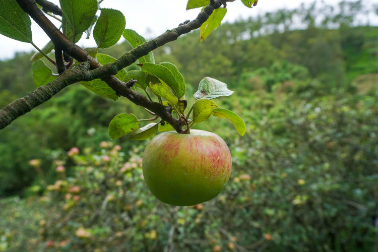 Fresh fruit Apple, type Rome Beauty Healthy Eating Food And Drink Fruit Food Plant Growth Green Color Tree Focus On Foreground Freshness Wellbeing Leaf Plant Part Close-up Nature No People Day Apple - Fruit Apple Tree Fruit Tree Outdoors Ripe Apple Batu